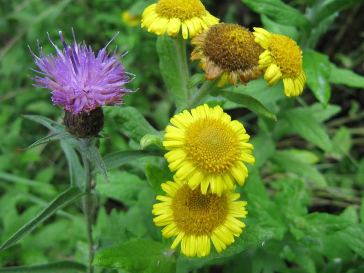 Fleabane and Lesser Knapweed