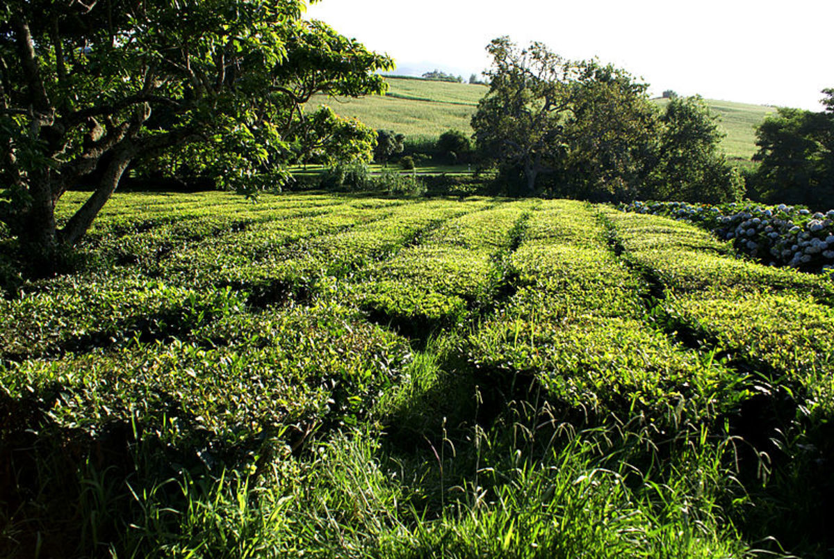 the only European Green Tea Fields found on the  Azores islands, Portugal