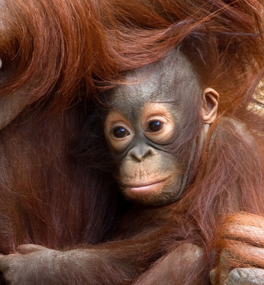 world-orangutan-day
