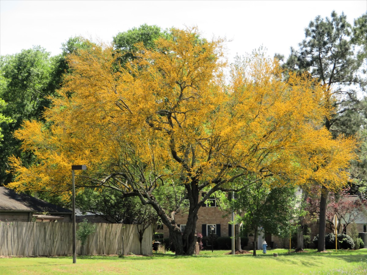 Growing Huisache Trees in Southern Landscaping: Beauty and the Beast