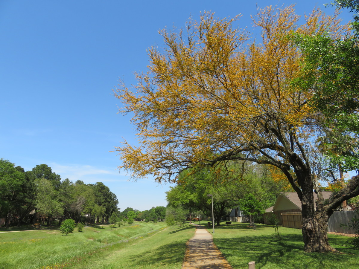 Huisache tree in the greenbelt area of our subdivision
