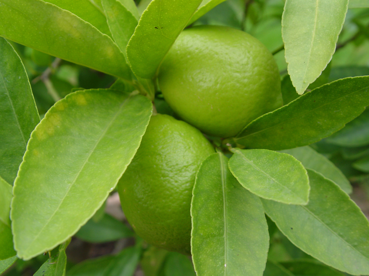Kaffir lime, Persian lime, Key lime and Dessert lime are different types of lime
