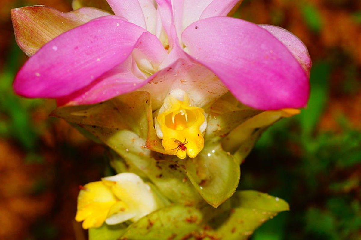 ginger flowers may be white, pink or yellow