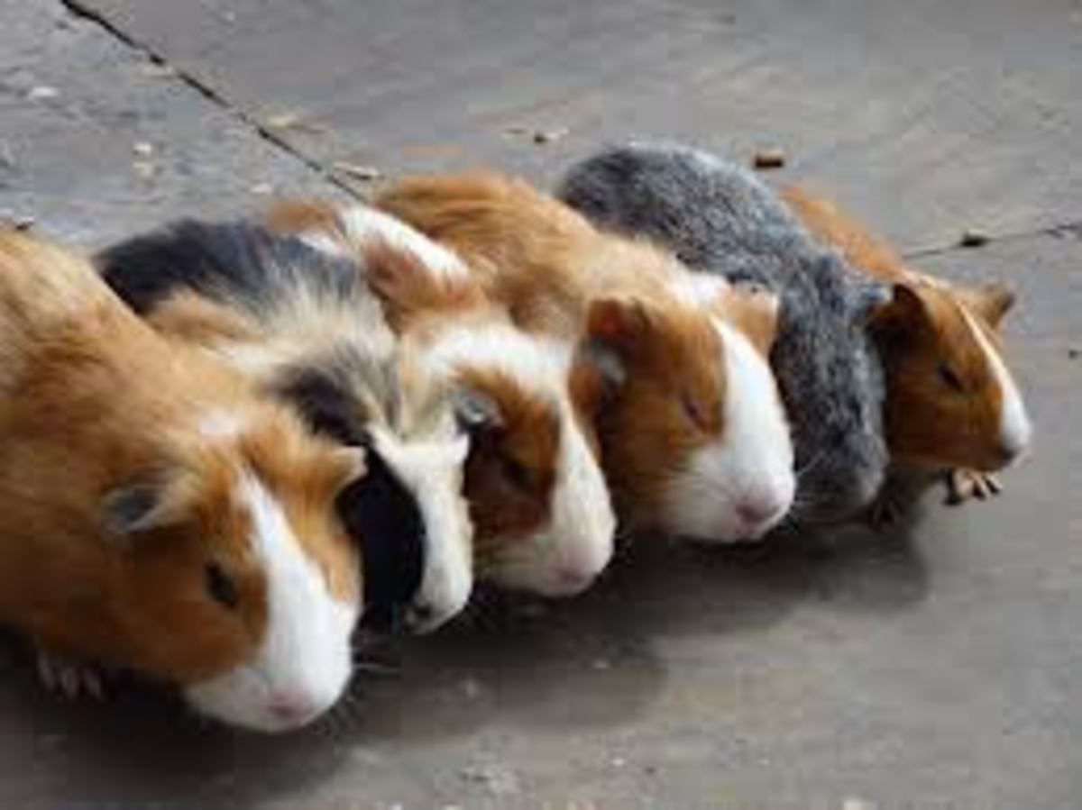 All About Caring for Your Guinea Pig
