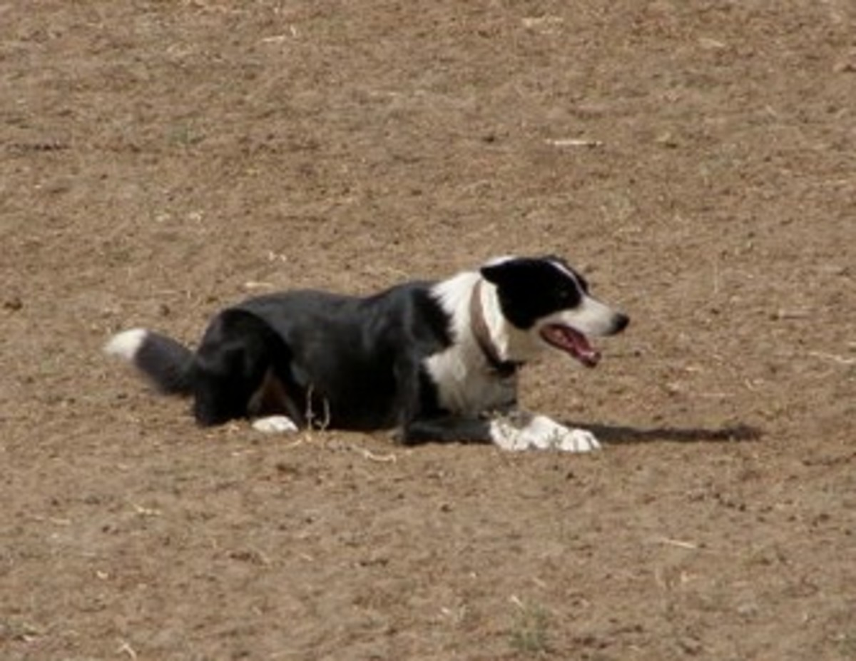 border-collie-personality-quirks