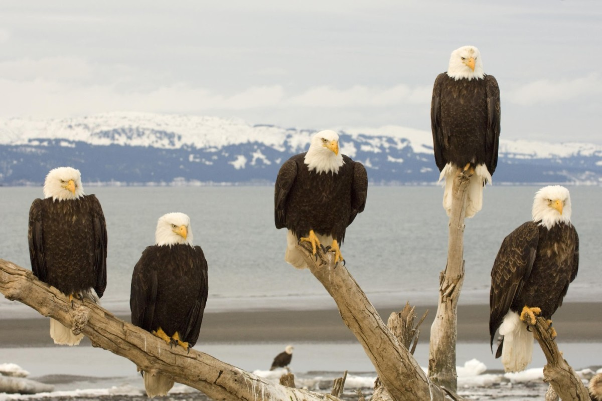 Bald Eagles are beautiful!