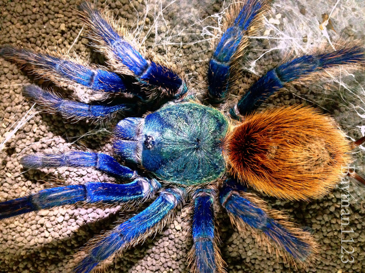 Tarantulas: Who Are The Best Webbers?