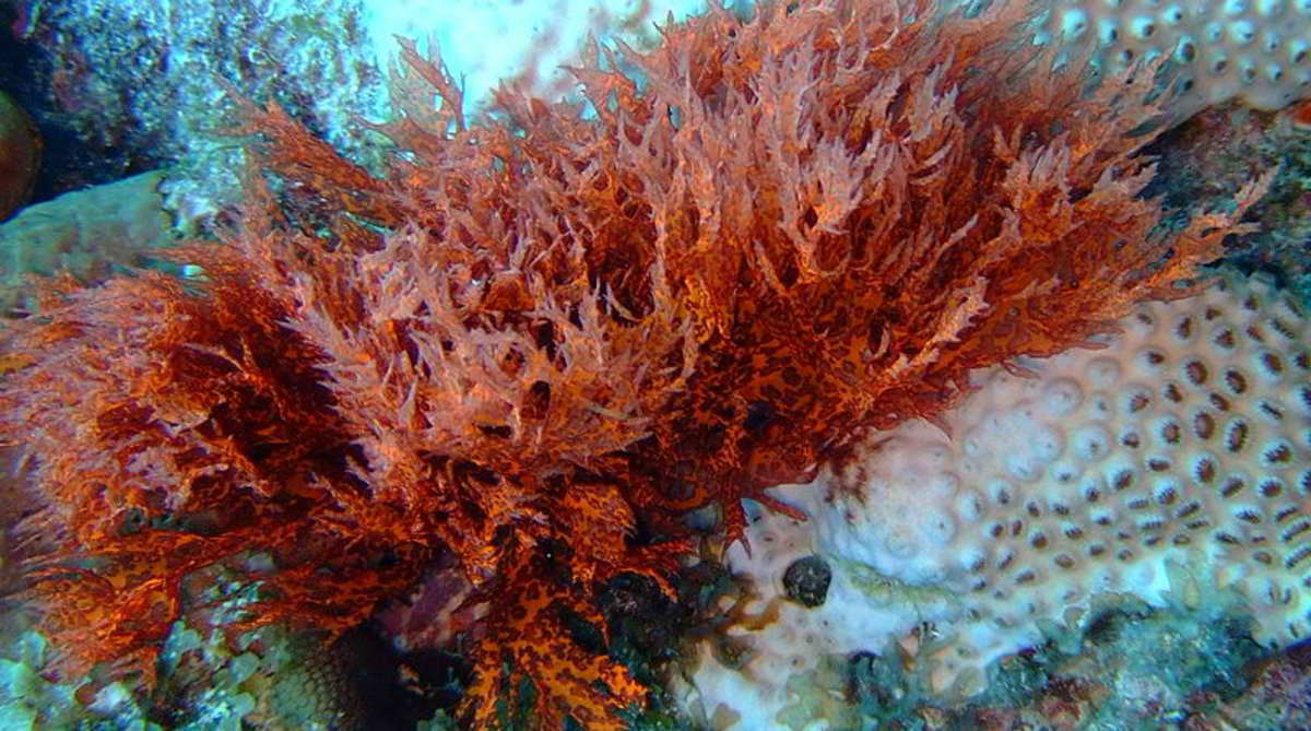 Red algae on bleached coral