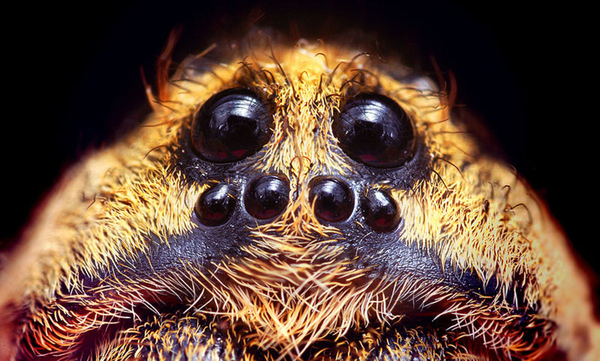 This is a closeup of the eyes of a wolf spider.  Note the difference between the wolf spiders's eye pattern and the dock spider's eye pattern.