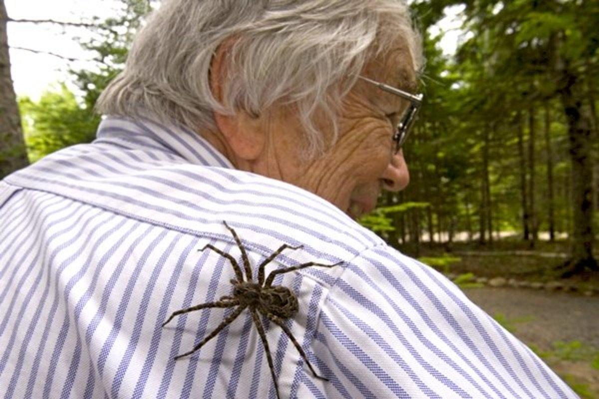 Wolf Spiders & Dock Spiders or Fishing Spiders; A Comparison--Plus My Meeting With a Giant Wolf Spider!