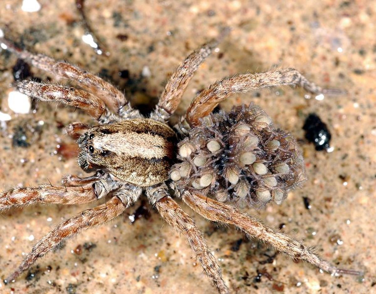 Wolf spider carrying her babies.