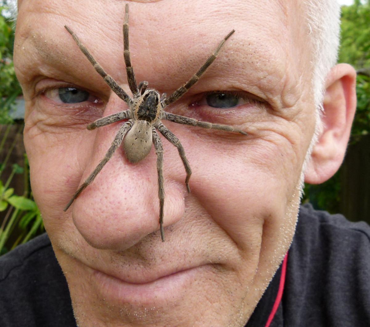 Dock spiders do get pretty big.