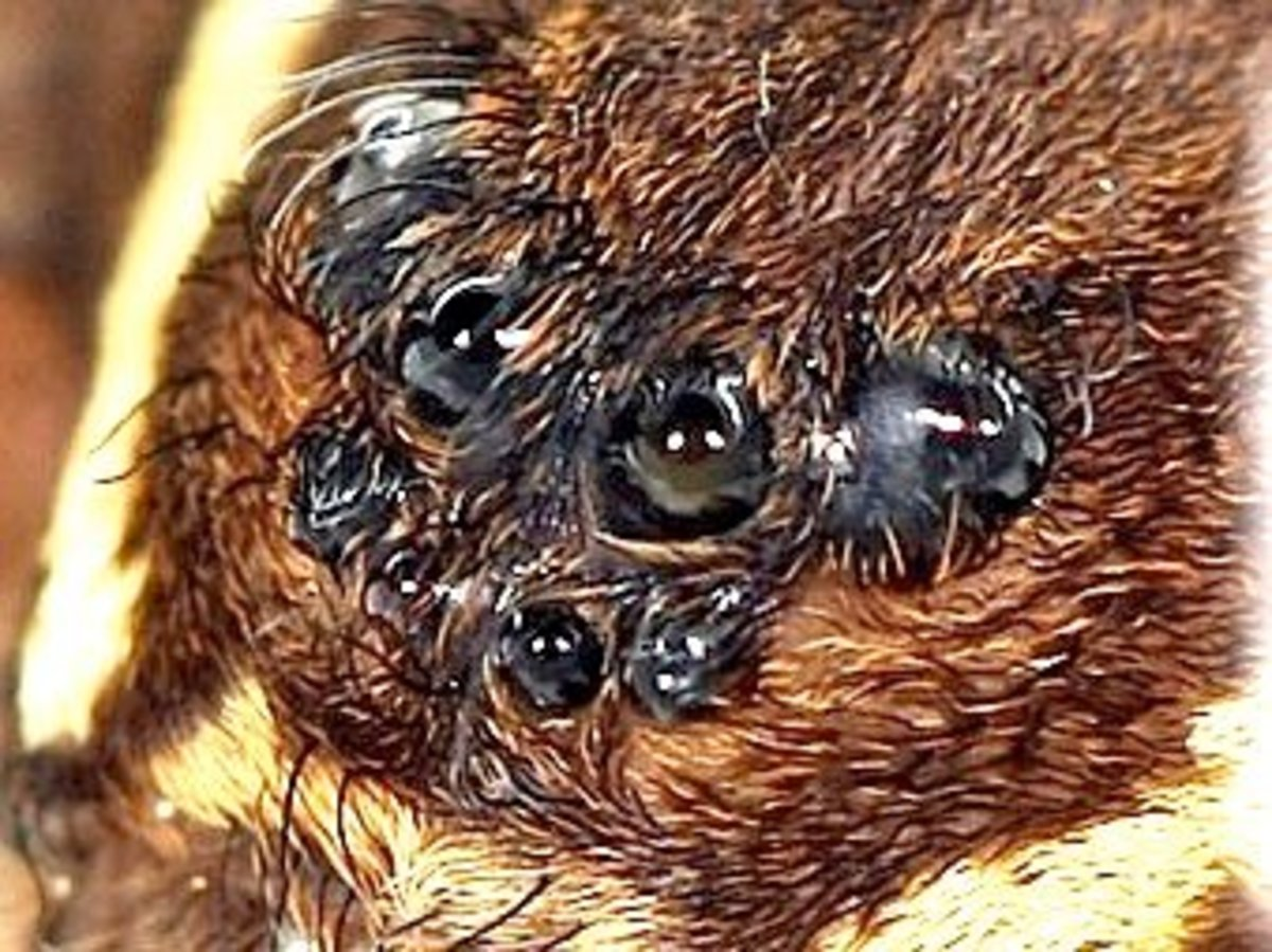 This is a closeup of the eyes of a dock spider also known as a fishing spider or dolomede.