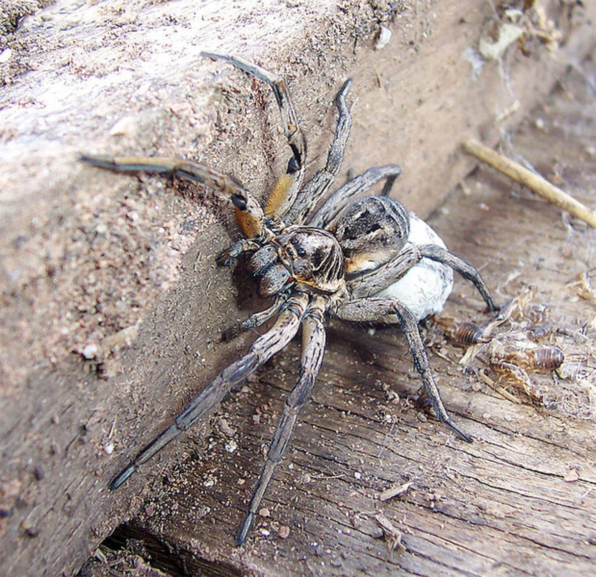 Female wolf spider with her egg sac.