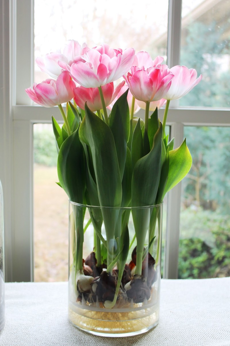 How to Grow Tulips and Other Perennials in Glass Jars in Your Home All Year