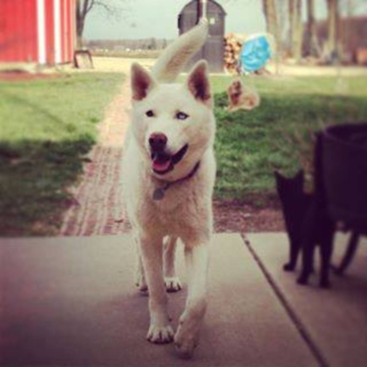 Rocket is an all-white male husky with one blue eye and one brown eye. He went missing on May 10th, 2013 in Central Indiana. Have you seen him?