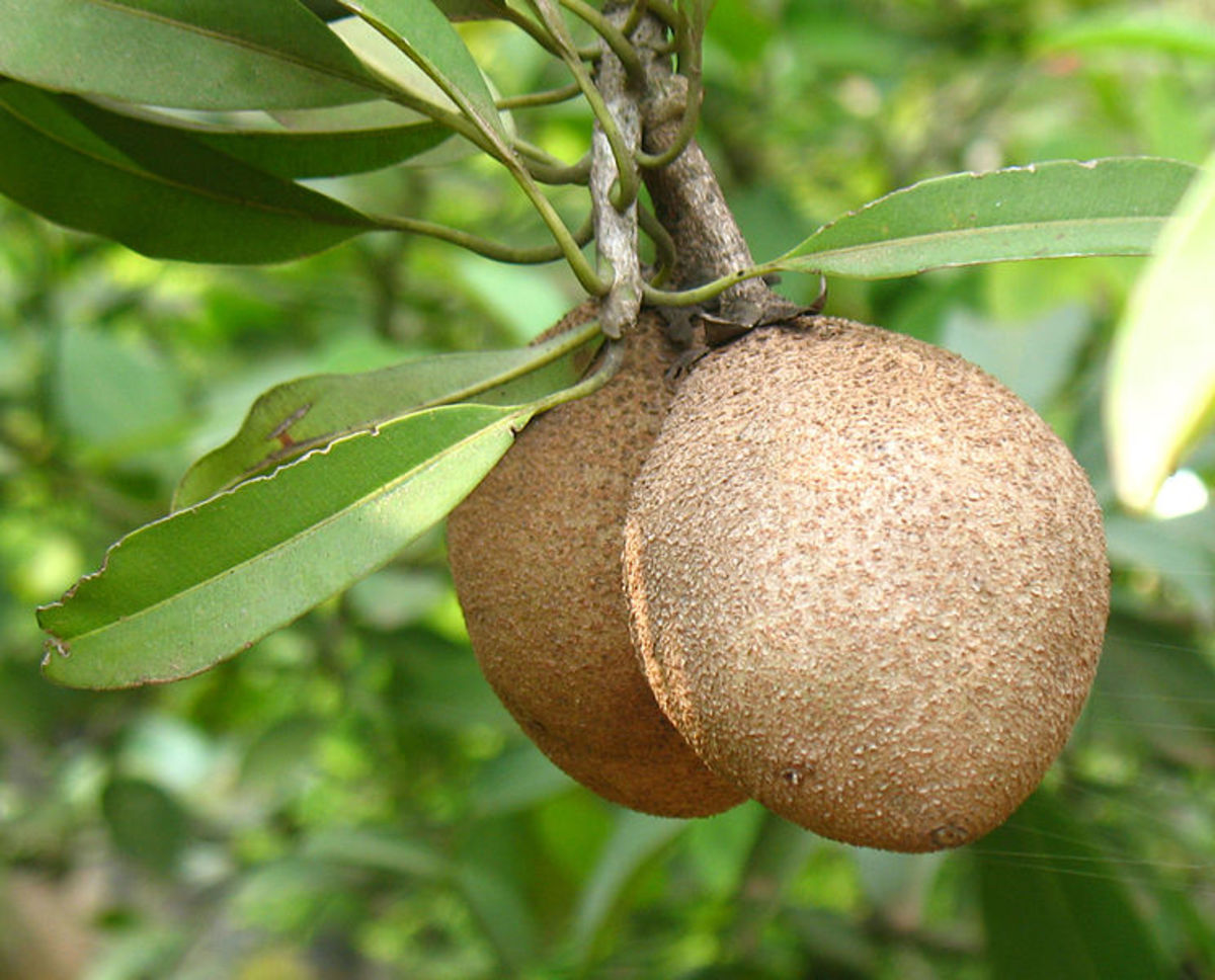 the-wonderful-health-benefits-of-the-chiku-fruit