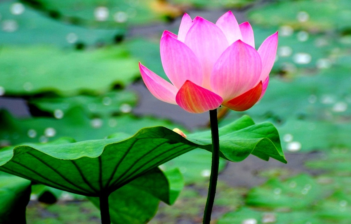 The Lotus Flower - Nelumbo Nucifera