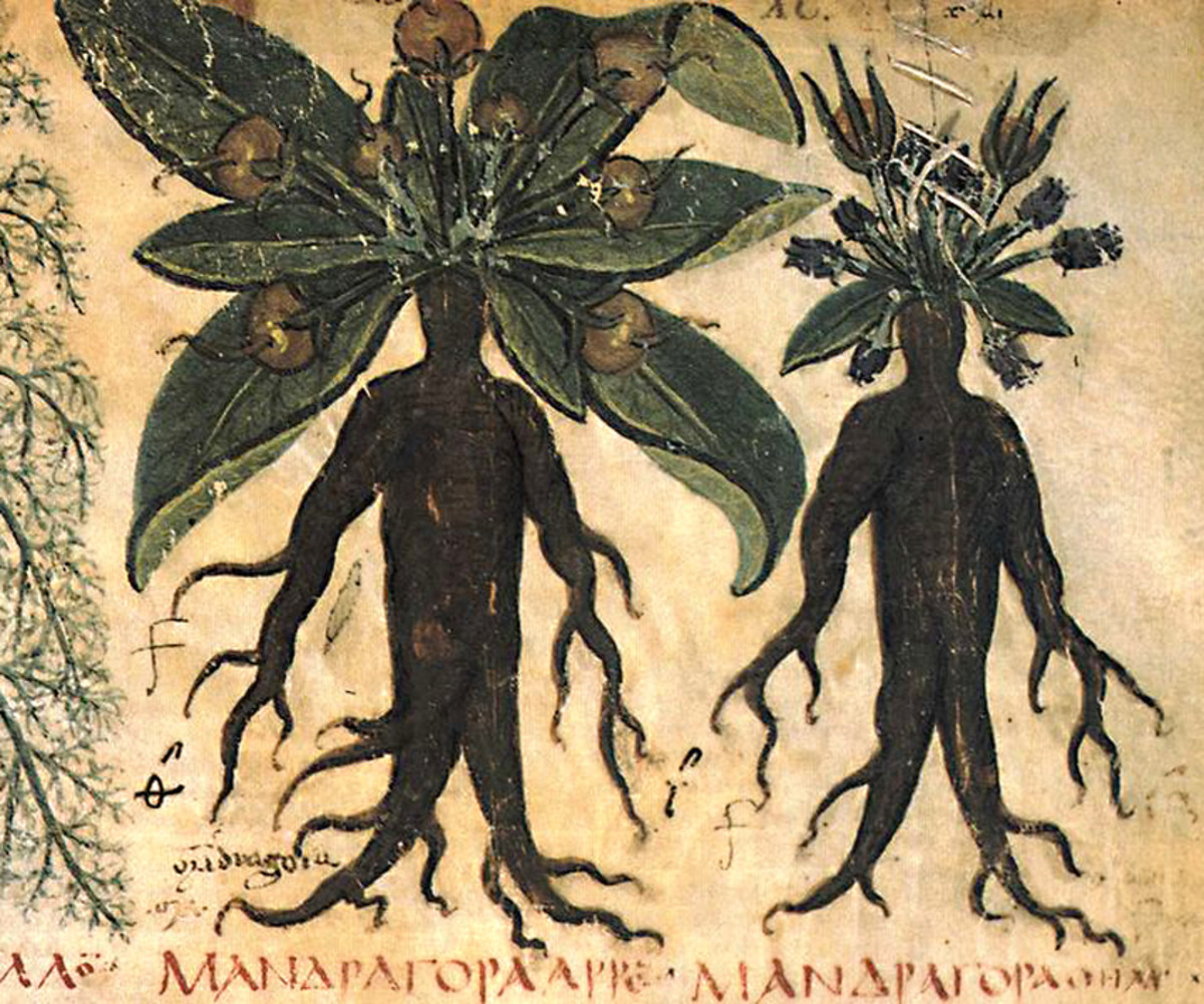 The 'human' roots of Mandrake depicted in a 7th century herbal - the 'Naples Dioscurides' - a treatise of plants and their varied medicinal uses
