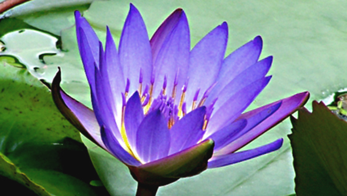 The beautiful Blue Lotus Flower