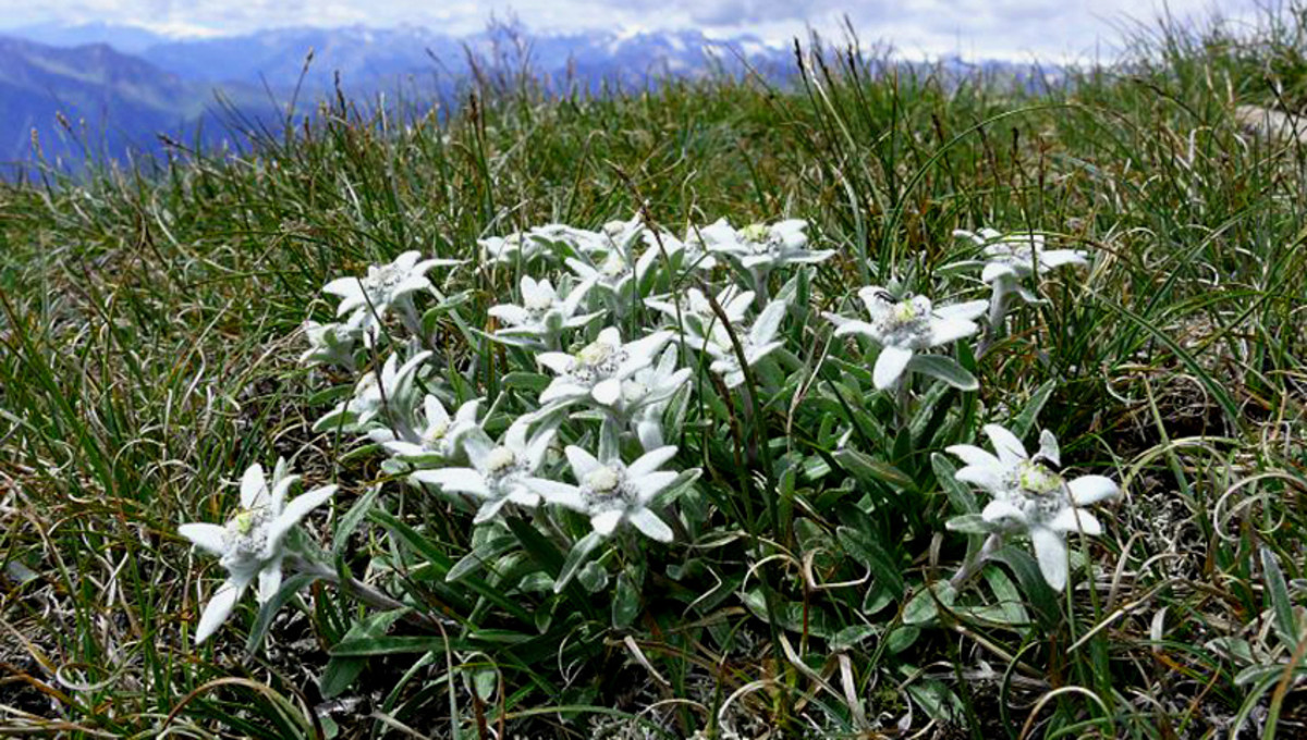 Edelweiss growing in its wild mountainous location in Italy