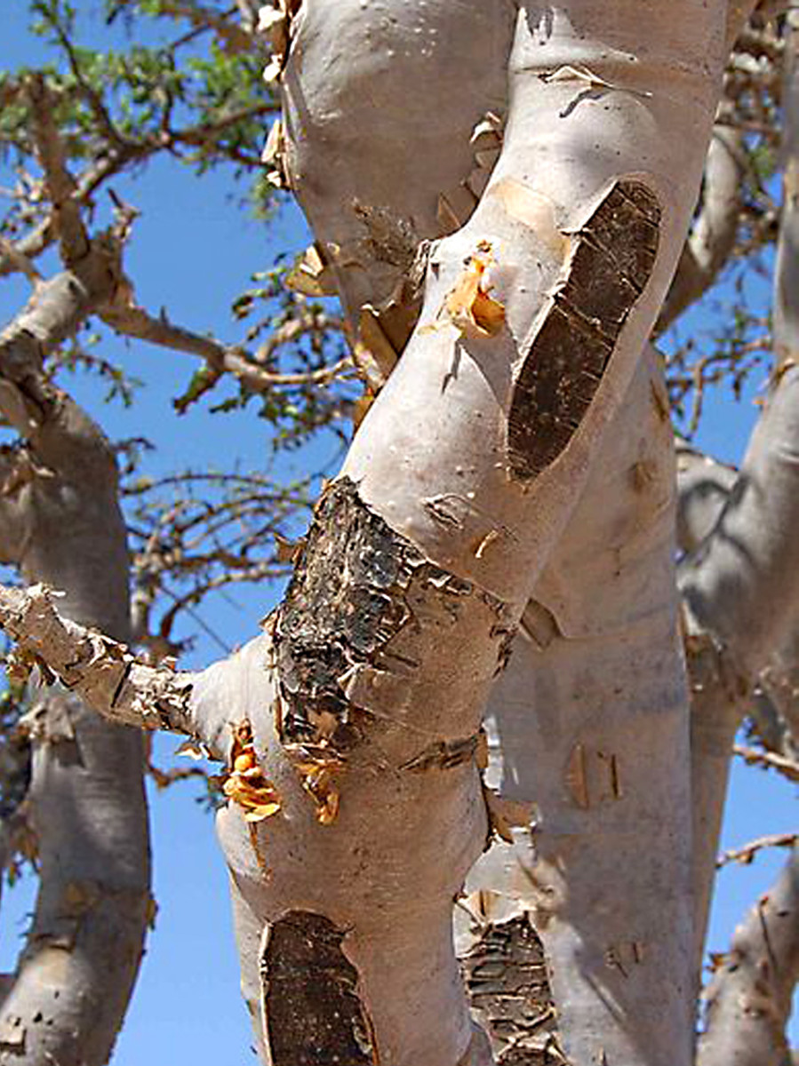 Boswellia sacra in Oman - the tree which produces frankincense