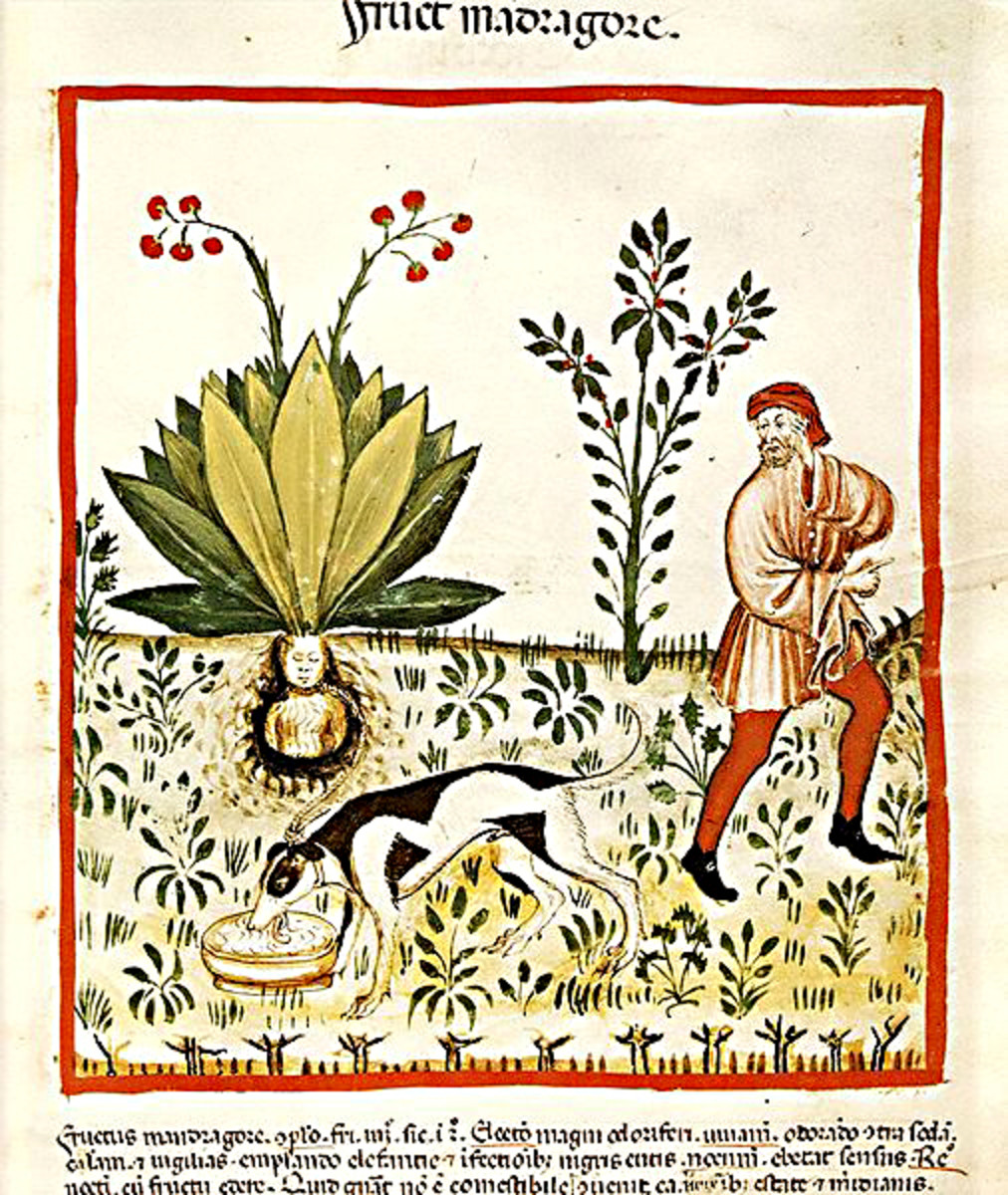 Illustration in a 15th century handbook on health and medicine. Note the roots depicted as a human torso, and the dog employed to safely unearth the plant (see text for a description of this)