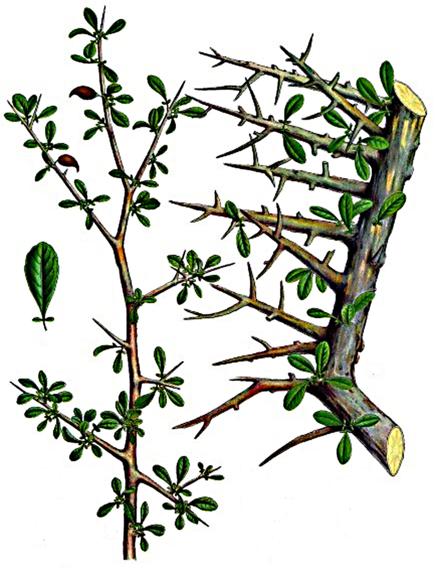 Commiphora myrrha,  the tree which produces myrrh