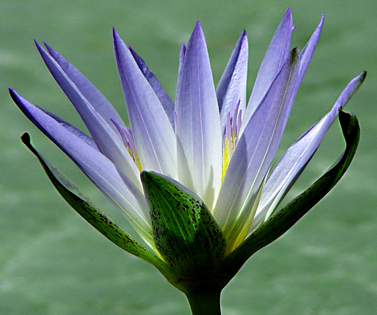 Nymphaea caerulea, also known as the Blue Lotus of Egypt