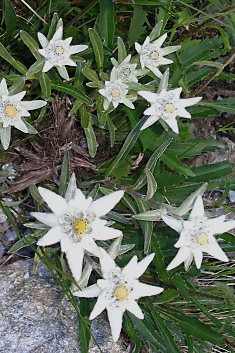 The Edelweiss plant and flowers photographed in Switzerland
