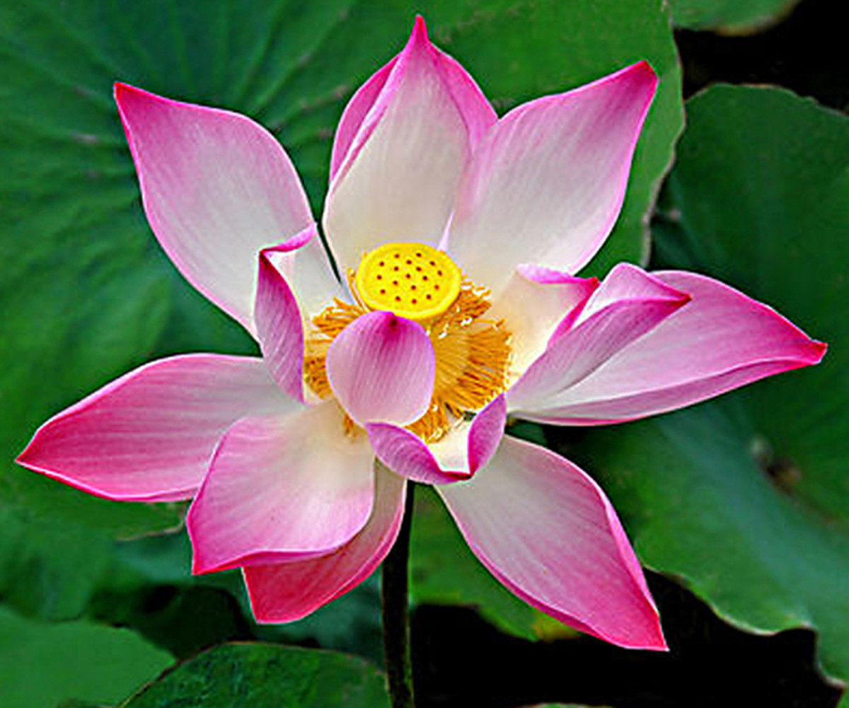 Nelumbo nucifera, also known as the Sacred Lotus flower of Asia