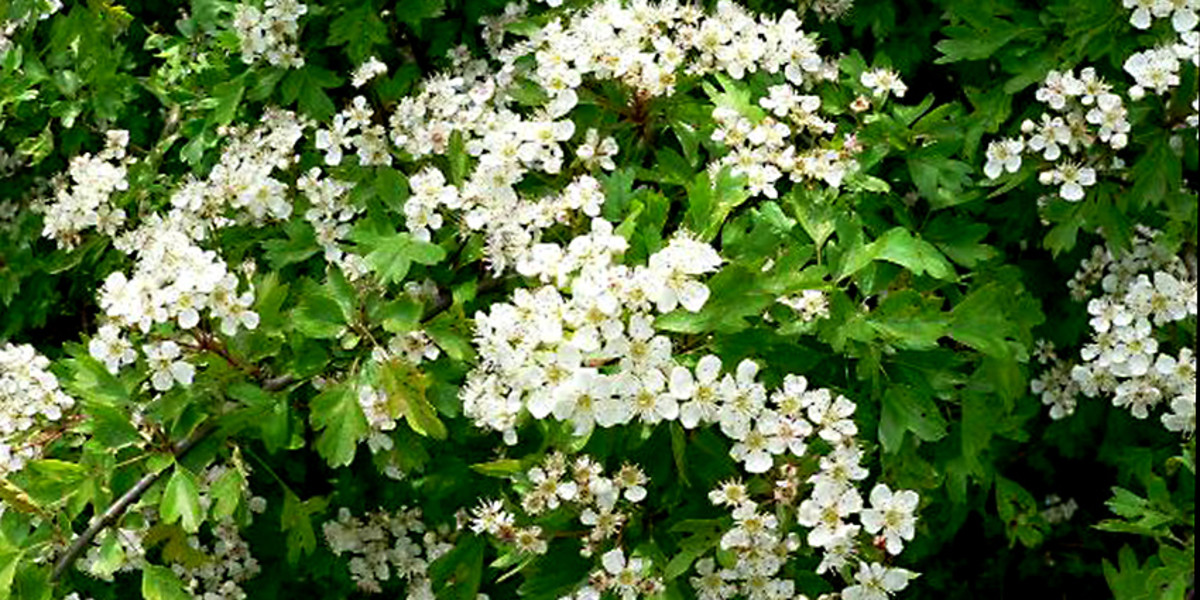 May Flowers cover every branch of this hawthorn tree in Northern England