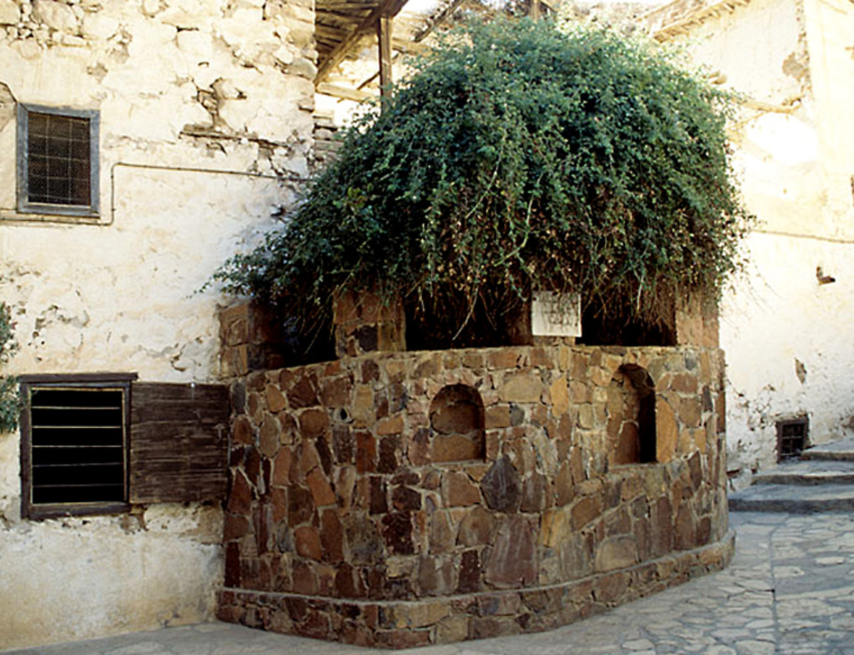 The well protected Rubus sanctus bush which still grows in St Catherine's Monastery in Egypt