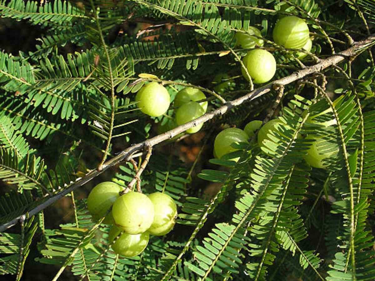 Indian gooseberries or amla in the tree.