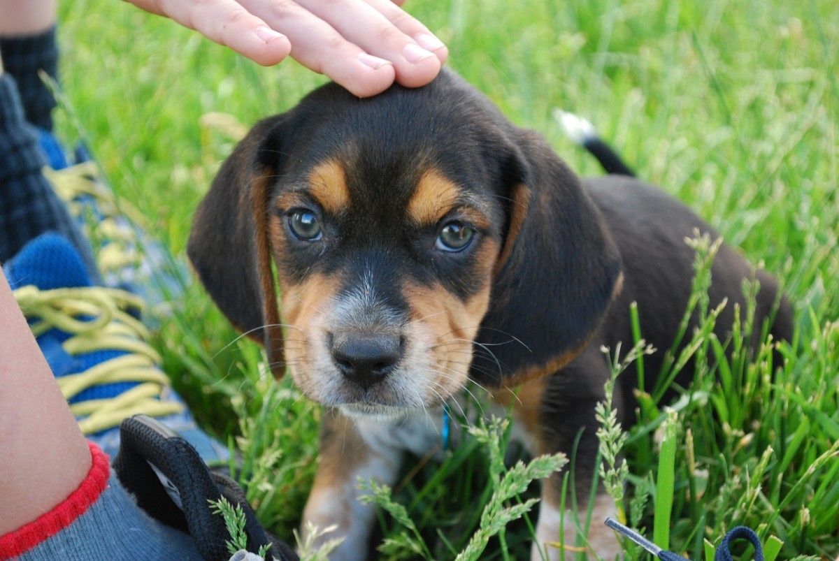 Beagles are another breed with predispositions for diabetes