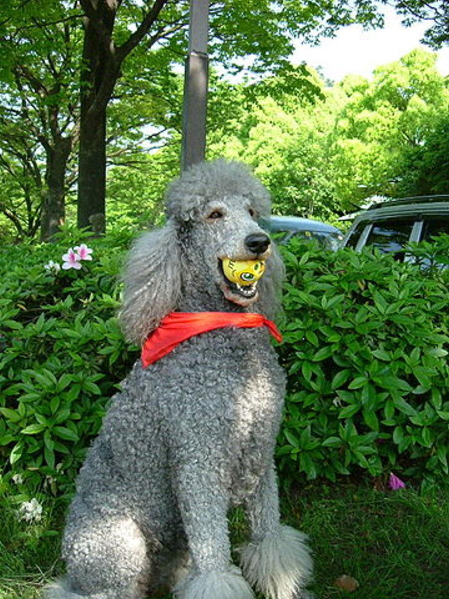 Poodles have a predisposition to diabetes