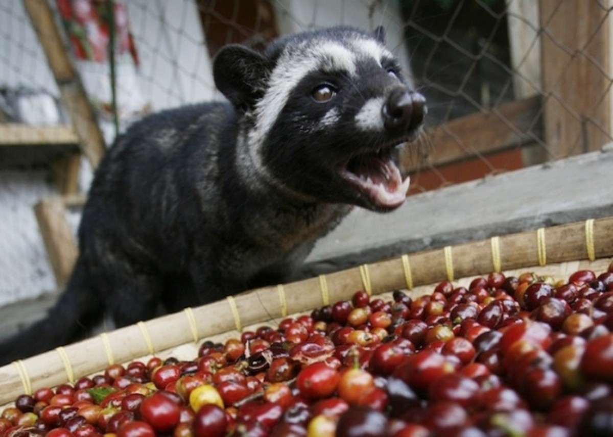 the-cruelty-behind-the-most-expensive-coffee-in-the-world