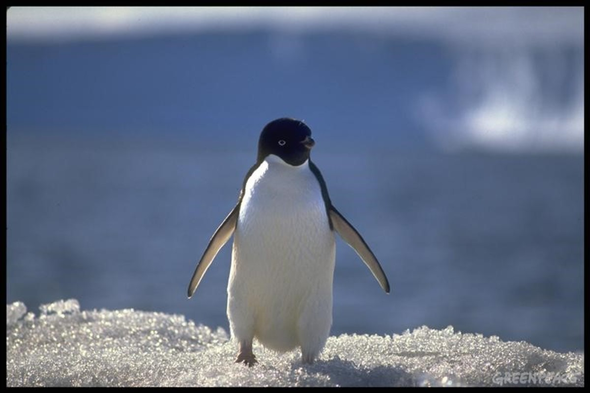 Just another day for an Adelie penguin.