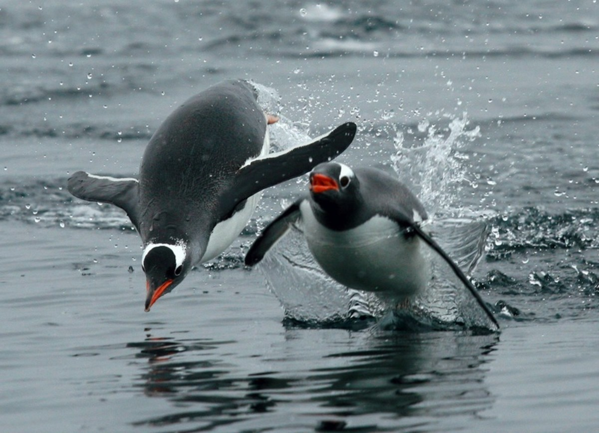 "These Gentoo penguins are ""porpoising"" by jumping out of water."