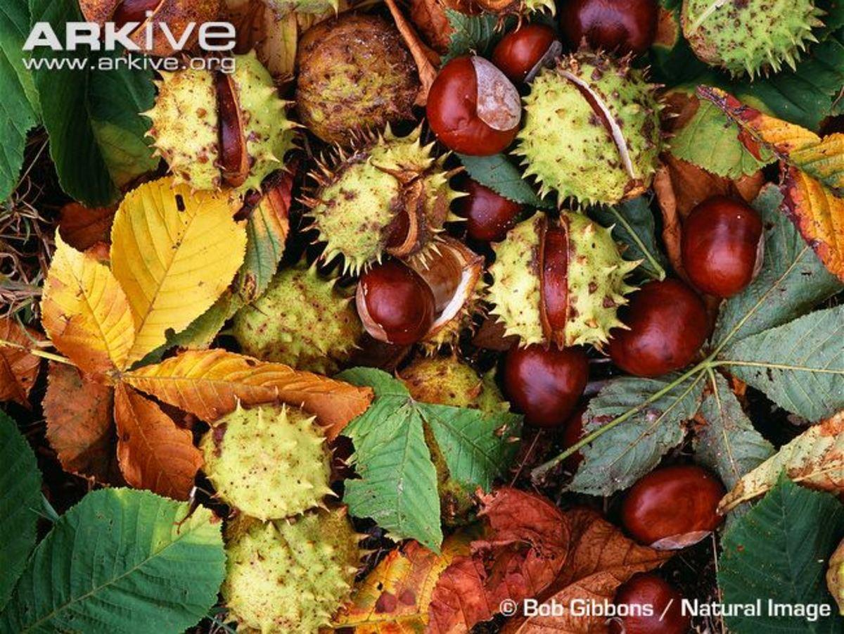Fallen horse chestnuts in Autumn.