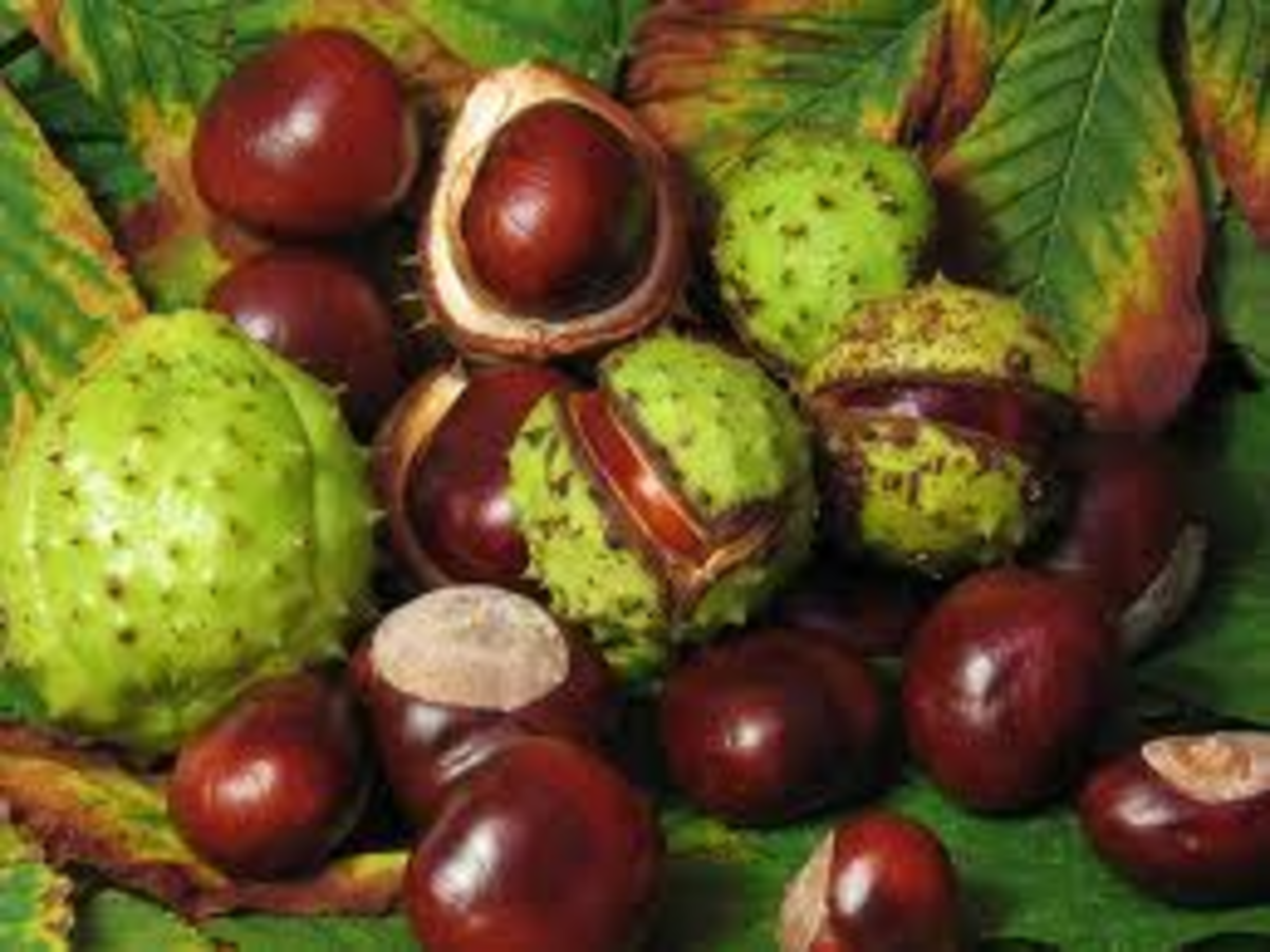 These nuts from the horse chestnut tree are slightly poisonous. They contain alkaloid saponins and glucosides. Some mammals like deer can break down the toxins and eat them.