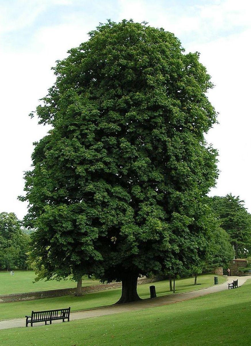 Can Horse Chestnut Herb Help Varicose Veins