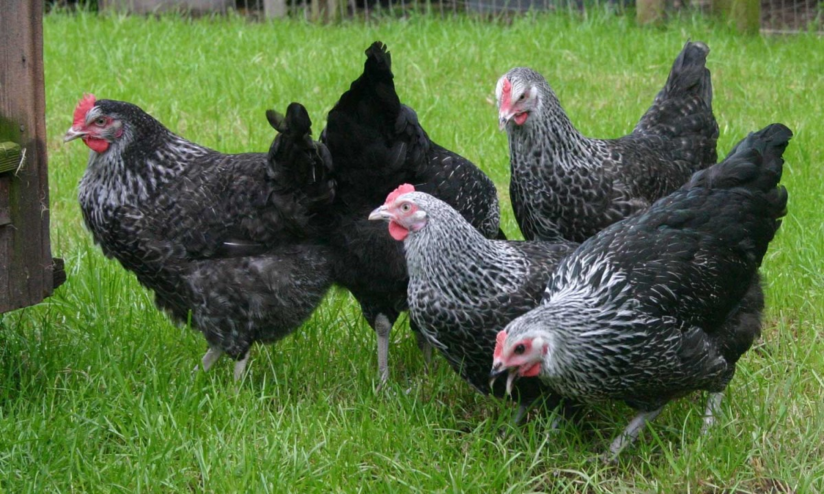 top-10-chicken-breeds-for-eggs