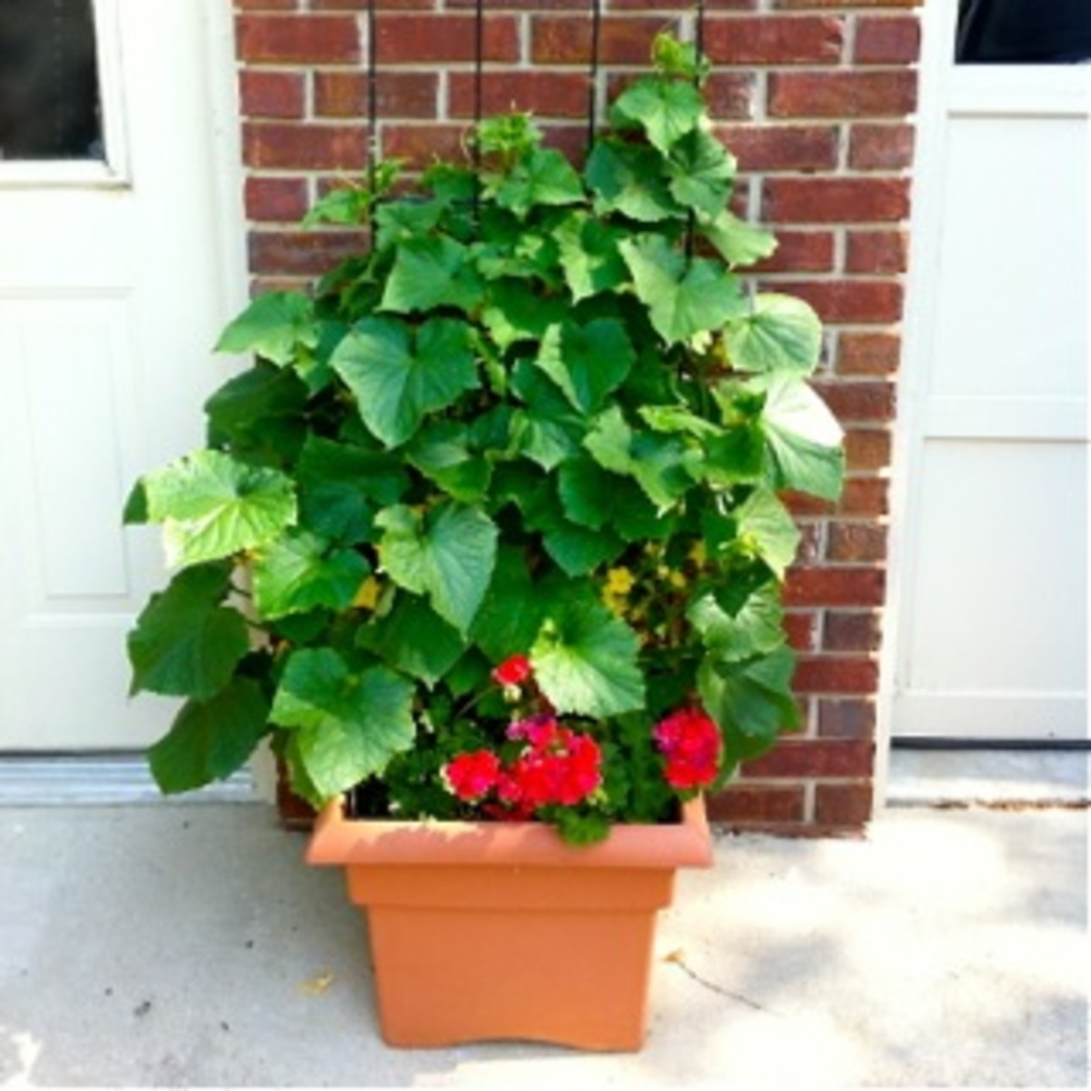 My square terra-cotta plastic pot was new in this photo.
