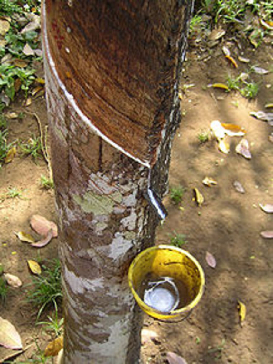 natural latex being sapped from a tree - the first rubberized material - the rubber material right from Mother Nature
