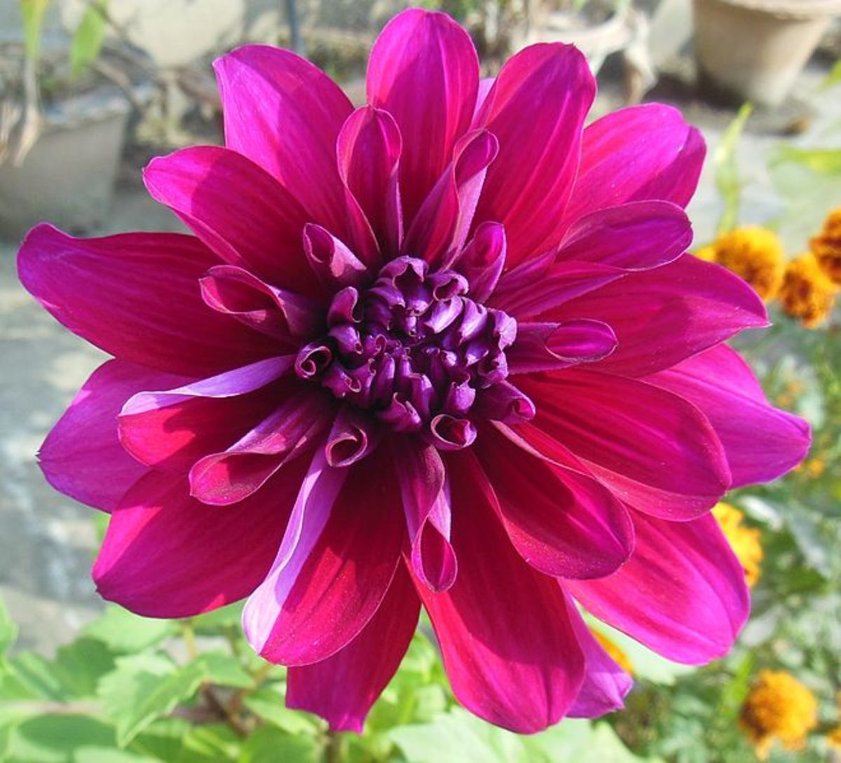 The Dahlia was declared the national flower of Mexico