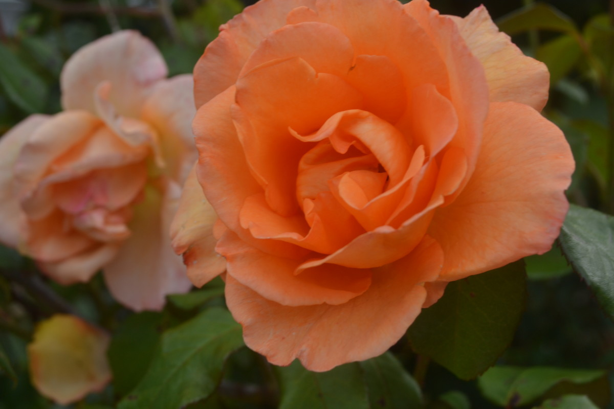 Just Joey is a David Austin rose. A strong bushy grower with large frilly edged blooms.