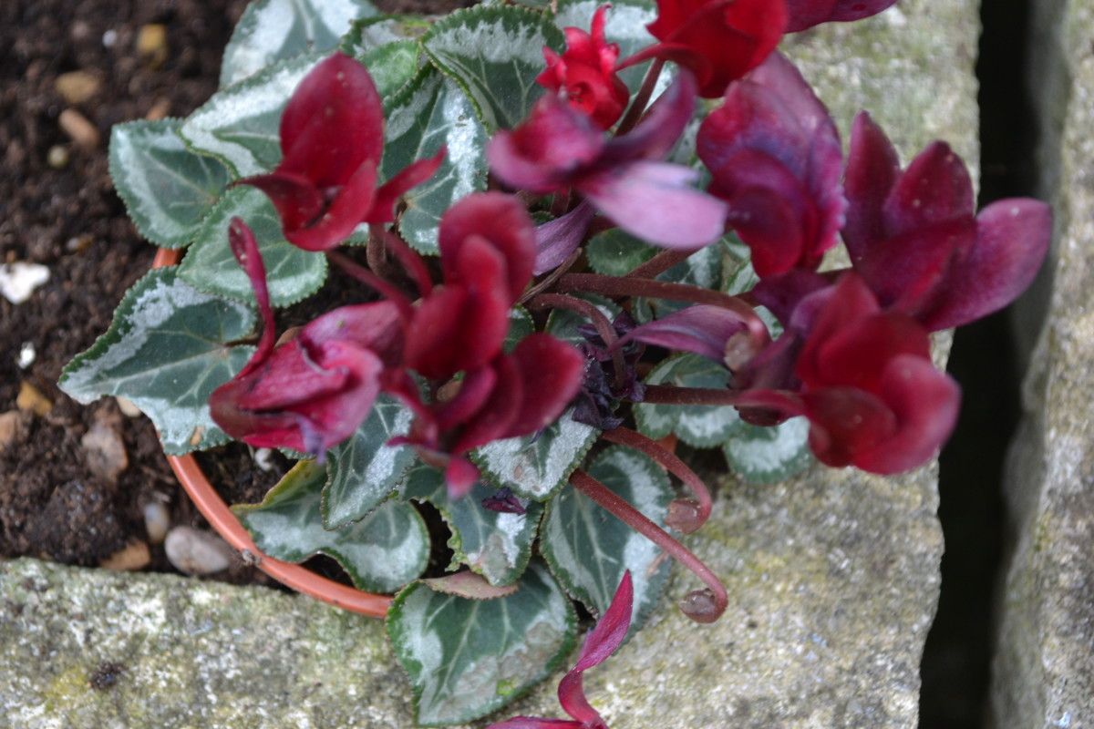 Cyclamen hederifolium and cyclamen purpurascens  bloom in summer and autumn. Cyclamen persicum and coum bloom in winter and cyclamen repandum bloom in spring