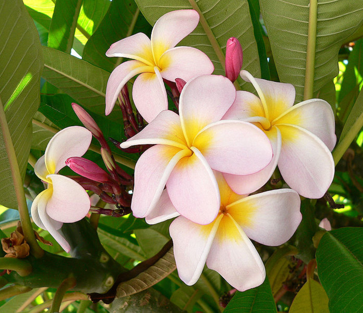 The Frangipani (plumeria) is totally tropical. The flowers of the Frangipani tree evokes the feel of the tropics like no other. .