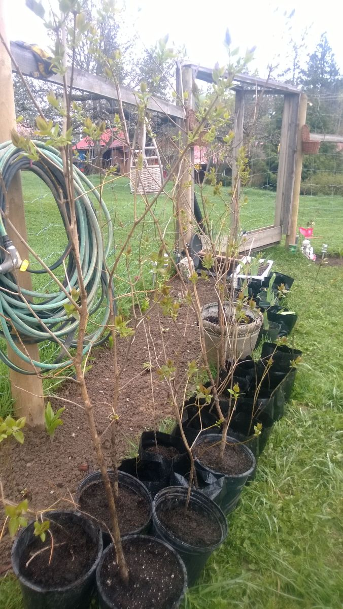Dig up some roots or sapling suckers and  transplant them into different, strategic areas of your yard in order to protect your home from the elements